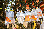 Pet goldfish on sale in plastic bags in the central historic district of Coatepec, Veracruz State, Mexico.