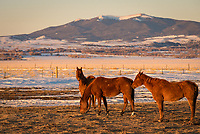 The evening light was really nice when I drove past these horses near Riverside, so I stopped to capture them.