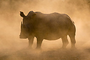 Silhouette of a white rhinoceros, Ceratotherium simum, at sunset in a cloud of dust.