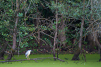 Black-crowned Night-Heron  (Nycticorax nycticorax) waiting for prey at the shore of an oxbow of the river Allier. Pont-du-Chateau, Auvergne, France.