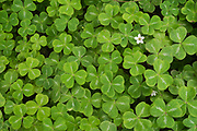 A single white flower is in full bloom in a patch of green Wood Sorrel during spring in Portland, Oregon