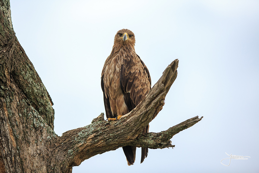 Tawny Eagle, Savannörn, Aquila rapax, watching from tree, Tarangire early morning, Tanzania, Africa