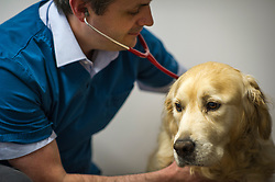 Veterinary surgeon checks a dog's breathing.<br /> Rushcliffe Veterinary Centre, West Bridgford, Nottingham NG2 7LR.<br /> Photo: Ed Maynard<br /> 07976 239803<br /> www.edmaynard.com