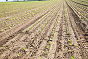 Rows escarole plant seedlings planted in late August Bawdsey Suffolk England