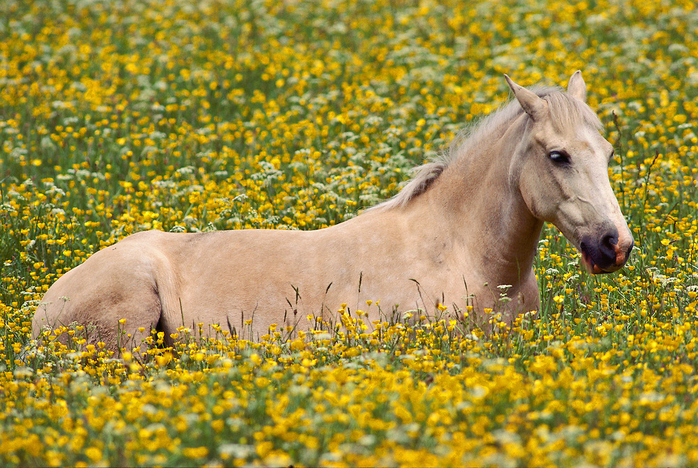 A horse in a field of flowers in Northern England.