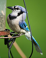 Blue Jay. Image taken with a Nikon D850 camera and 600 mm f/4 VR lens.