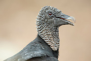 Black Vulture, Coragyps atratus, Panama, Central America, Gamboa Reserve, Parque Nacional Soberania, is a bird in the New World vulture family whose range extends from the southeastern United States to Central Chile and Uruguay in South America, head and neck are featherless and the skin is dark gray and wrinkled