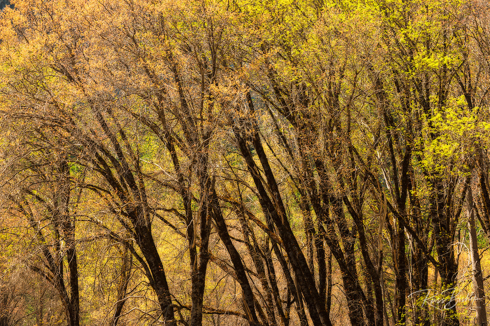 Oak trees in El Capitan Meadow, Yosemite National Park, California USA