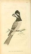 crested shriketit (Falcunculus frontatus) from volume XIII (Aves) Part 2, of 'General Zoology or Systematic Natural History' by British naturalist George Shaw (1751-1813). Griffith, Mrs., engraver. Heath, Charles, 1785-1848, engraver. Stephens, James Francis, 1792-1853 Published in London in 1825 by G. Kearsley