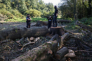 Anti-HS2 activists survey trees recently felled in Denham Country Park by contractors working on behalf of HS2 Ltd on 21 September 2020 in Denham, United Kingdom. The activists contend that the trees were felled in connection with the HS2 high-speed rail link in an area of the park not indicated for felling on official maps supplied by HS2 Ltd.