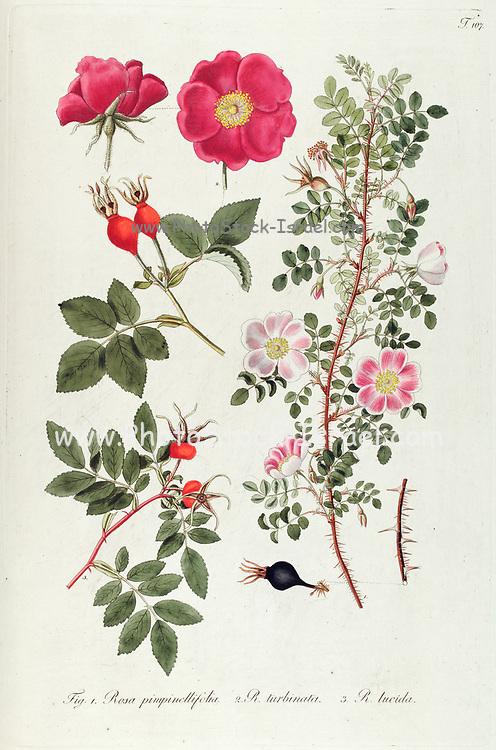 Hand painted botanical study of Scotch rose (Rosa pimpinellifolia), Rosa turbinata Aiton and Virginia rose (Rosa lucida syn Rosa virginiana) bushes from Fragmenta Botanica by Nikolaus Joseph Freiherr von Jacquin or Baron Nikolaus von Jacquin (printed in Vienna in 1809)