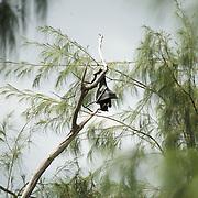Fruit bat hanging in a conifer.