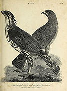Doubtful Hawk, Tufted goshawk Copperplate engraving From the Encyclopaedia Londinensis or, Universal dictionary of arts, sciences, and literature; Volume VII;  Edited by Wilkes, John. Published in London in 1810