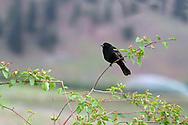 A Redwing Blackbird (Agelaius phoeniceu) in Kekuli Bay Provincial Park near Vernon, British Columbia, Canada