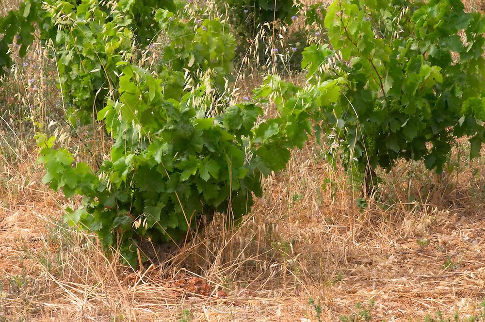 Domaine de la Garance. Pezenas region. Languedoc. Vines trained in Gobelet pruning. France. Europe. Vineyard.