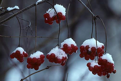 Snow-capped red unedible berries hanging frozen on bush. Winter. Wisconsin.