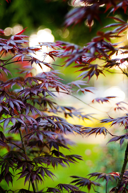A purple variety of Japanese Maple in a Seattle Garden.