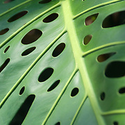 Closeup, vertical shot of Philodendron leaf in Hawaii.