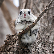 Japanese dwarf flying squirrel (Pteromys volans orii) perched at the juncture of a small branch and tree trunk. This species is normally nocturnal. This one appeared during briefly during the day, but soon returned to its nest.