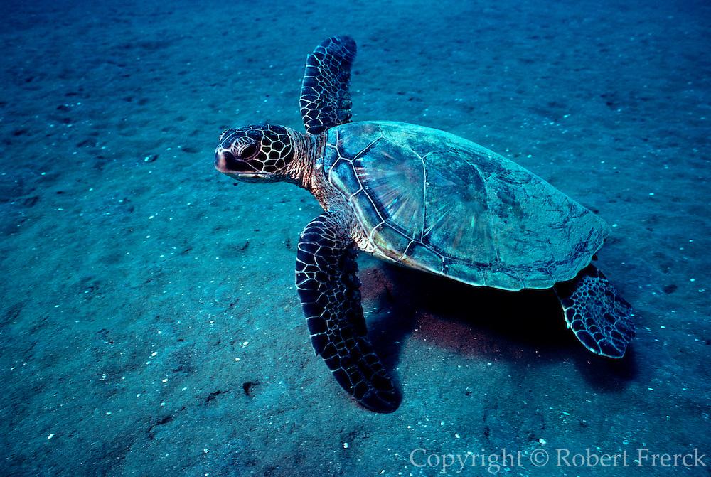 UNDERWATER MARINE LIFE HAWAII TURTLES: Green Sea Turtle Chelonia mydas