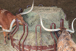 Longhorns in pens at Fort Worth Stockyards National Historic District, Fort Worth, Texas, USA.