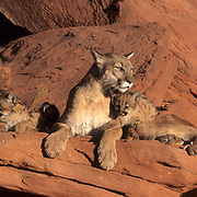 Mountain Lion or Cougar, (Felis concolor) Mother and cubs in Canyonlands of Utah.Red rock country.  Captive Animal.