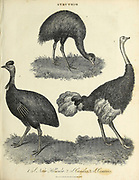 Struthio [Type genus of the Struthionidae: African ostriches] Copperplate engraving From the Encyclopaedia Londinensis or, Universal dictionary of arts, sciences, and literature; Volume XXIII;  Edited by Wilkes, John. Published in London in 1828