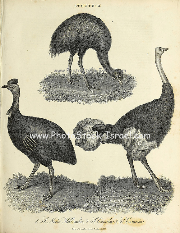 Struthio [Typegenus of the Struthionidae: African ostriches] Copperplate engraving From the Encyclopaedia Londinensis or, Universal dictionary of arts, sciences, and literature; Volume XXIII;  Edited by Wilkes, John. Published in London in 1828