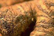 Close up selective focus photograph of a Horseradish Root