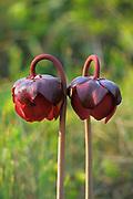 Pitcher plant (Sarracenia purpurea) flowers<br />Peggy's Cove<br />Nova Scotia<br />Canada