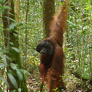 A large male orangutan (Pongo pygmaeus) along a forest trail in Tanjung Puting National Park. Central Kalimantan region, Borneo