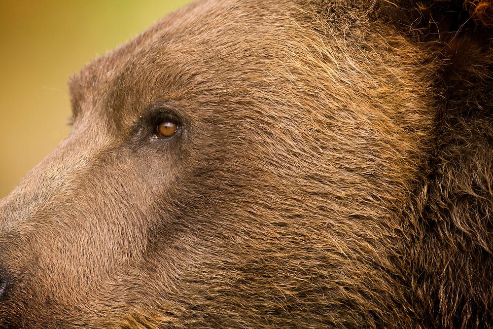 USA, Alaska, Katmai National Park, Kukak Bay, Close-up detail of eye of Brown Bear (Ursus arctos) on late summer evening