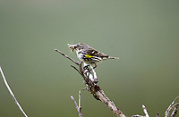 Yellow-rumped Warbler (Dendroica coronata), feeding on flying insect, Muskwa-Kechika, British Columbia, Canada   Photo: Peter Llewellyn
