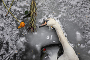 A lifeless swan lies in the ice of the frozen Landwehr Canal in Berlin, Germany, February 13, 2021. It appears people scattered flowers from a bridge above the frozen canal. Germany is experiencing extreme winter weather as part of a polar vortex, with temperatures going well beneath freezing.