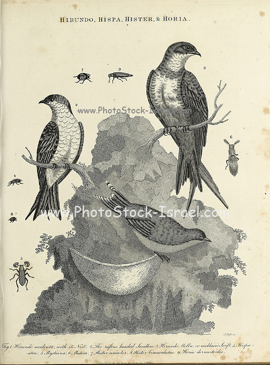 Hirundo [Bird], Hispa [Leaf Beetle], Hister [Clown Beetle] and Horia [Beetle] Copperplate engraving by J. Pufs. From the Encyclopaedia Londinensis or, Universal dictionary of arts, sciences, and literature; Volume X;  Edited by Wilkes, John. Published in London in 1811