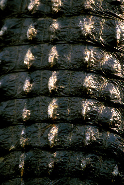 Stock photo of the detail of the scales and rough skin of an alligator's tail at the Texas Gatorfest in Anhuac.