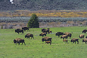 Ranch Life and environment of Upper Green River Basin; HERD OF BUFFALO (BISON) ON RANCH IN UPPER HOBACK VALLEY NEAR WYOMING RANGE.