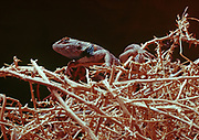 Desert Spiny Lizard, Sceloporus magister, on a tumbleweed deep within a slot canyon, Lower Antelope Wash, Arizona.