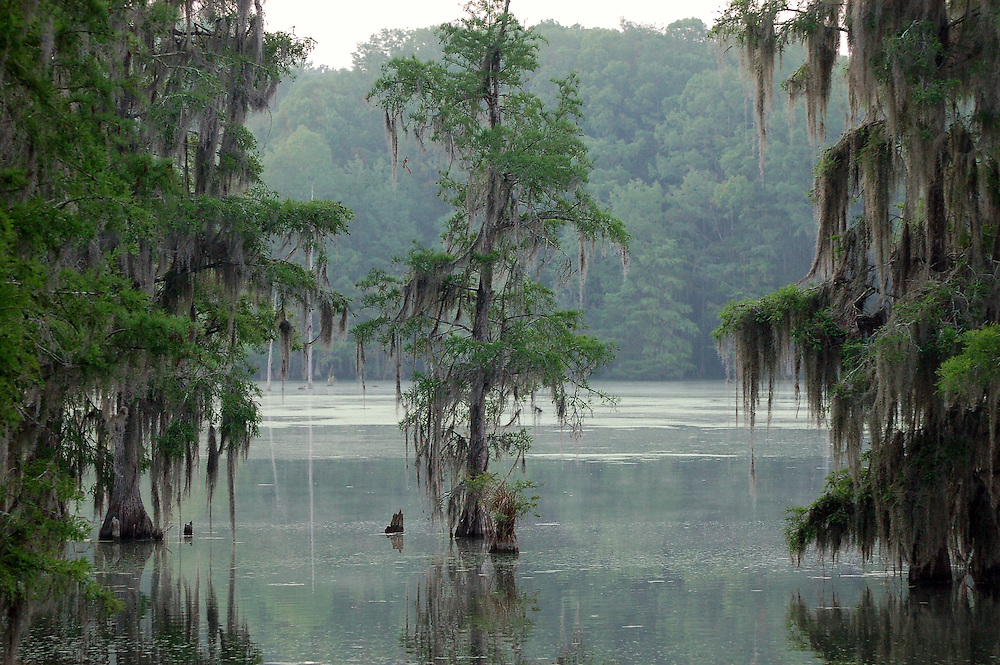 Cypress trees along the edge of a North Florida swamp.