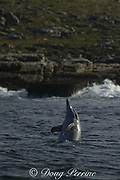 bottlenose dolphin, Tursiops aduncus ( formerly T. truncatus ), does a spyhop while hunting fish along the Wild Coast, Transkei, South Africa ( Indian Ocean )