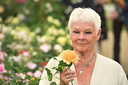 Dame Judi Dench holds an apricot rose named after her as it is launched by Shropshire grower David Austin Roses during the press preview of the RHS Chelsea Flower Show at the Royal Hospital Chelsea, London.