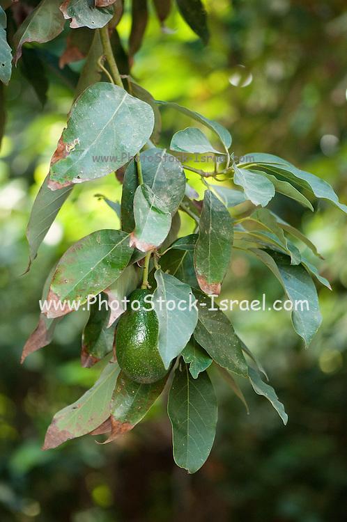 avocado fruit (Persea americana) on a tree in an orchard. Photographed at Kibbutz Maagan Michael, Israel