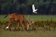 A peeing male , stag, Père David's deer, or Milu, Elaphurus davidianus, with Cattle egret, Bubulcus ibis, Hubei Tian'ezhou Milu National Nature Reserve, Shishou, Hubei, China