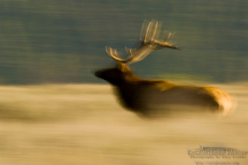Bull Elk running through grass field, Grand Teton National Park, Wyoming