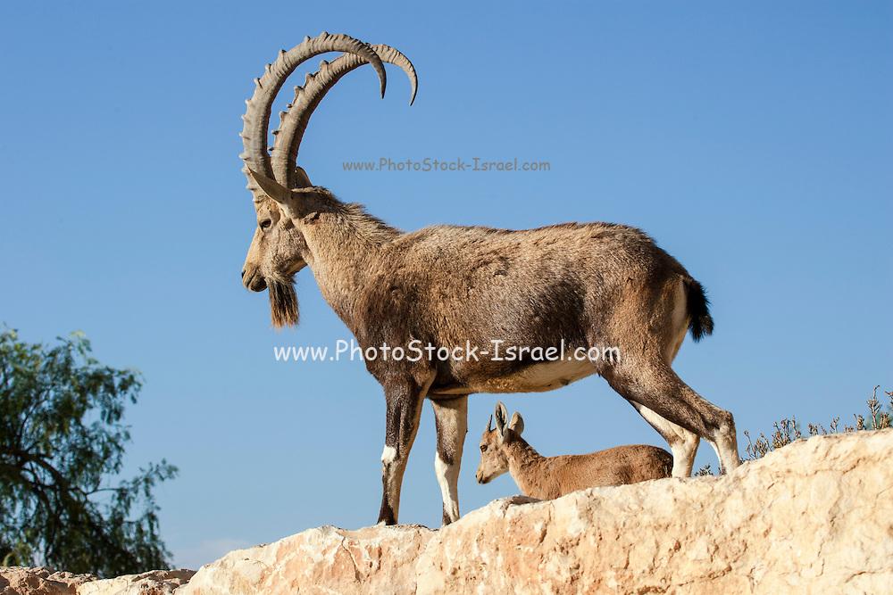 young and old Male Nubian Ibex (Capra ibex nubiana), Negev Desert, Israel