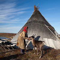 Sept 2009 Yamal Peninsula, Siberia, Russia - global warming impacts story on the Nenet people , reindeer herders in the Yamal Peninsula with reindeer pet