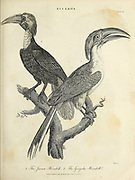 The Javan (Left) Hornbill and the Gingala (right) Hornbill Copperplate engraving From the Encyclopaedia Londinensis or, Universal dictionary of arts, sciences, and literature; Volume III;  Edited by Wilkes, John. Published in London in 1810