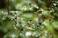 Wild Huckleberry.