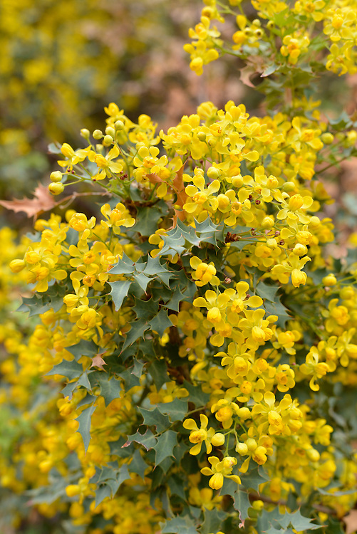 Freemont's Mahonia in bloom, Robbers Roost Canyon, Utah.