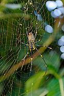 Golden Orb Spider in afternoon light